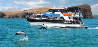 Dolphins at an Akaroa cruise