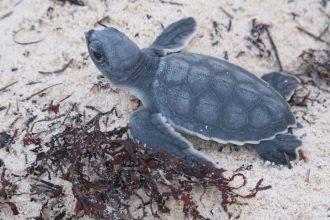Turtle walking on a beach.