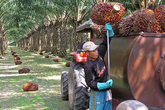 Worker on a palm oil field.