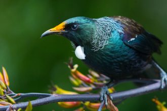 Photo of a Tui.